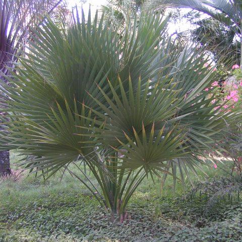 Palmeiras Exóticas