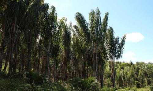 A Palmeira Piaçava